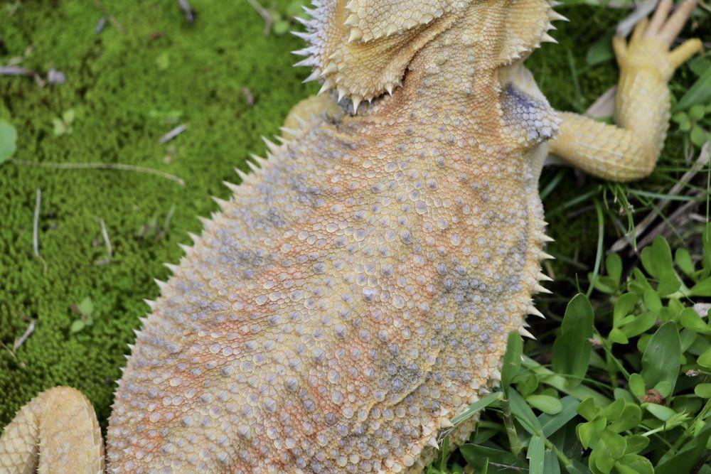 Dunner Morph Beardie , (F) White Hypo Morph Beardie