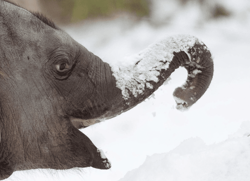 baby elephant with snow on his trunk