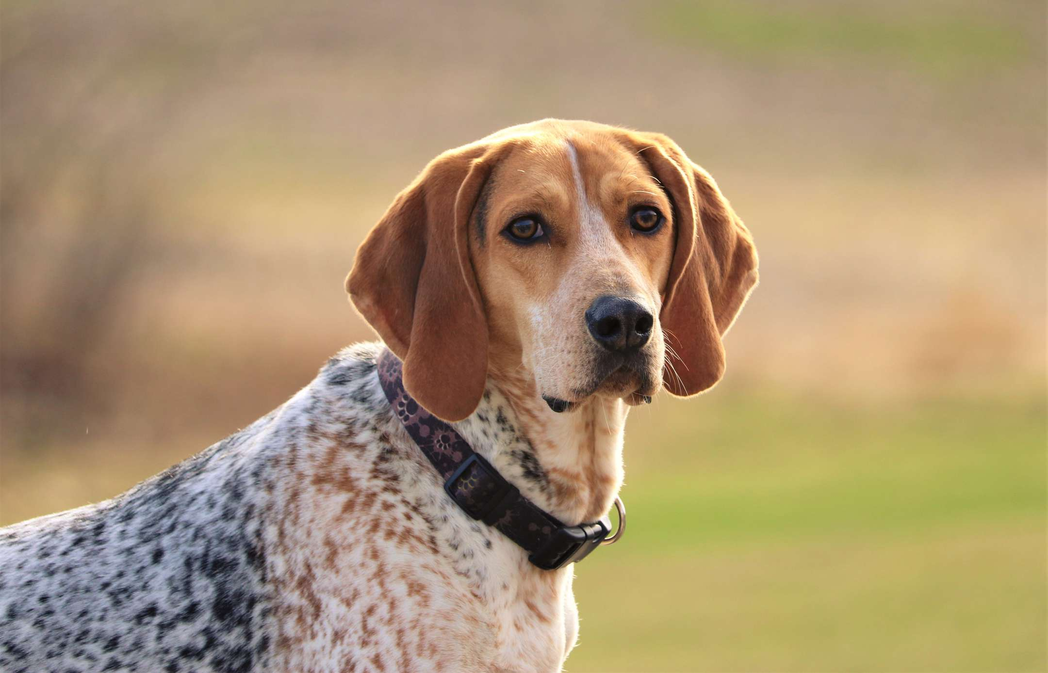 Brown and white Coonhound outside