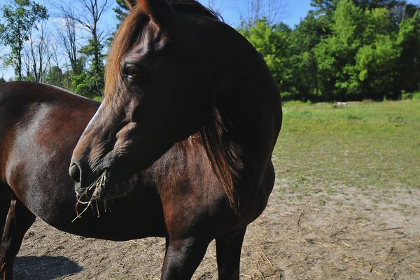 Chestnut Morgan mare with hay in her mouth and looking to the left with sudden interest, Commerce Township, Michigan