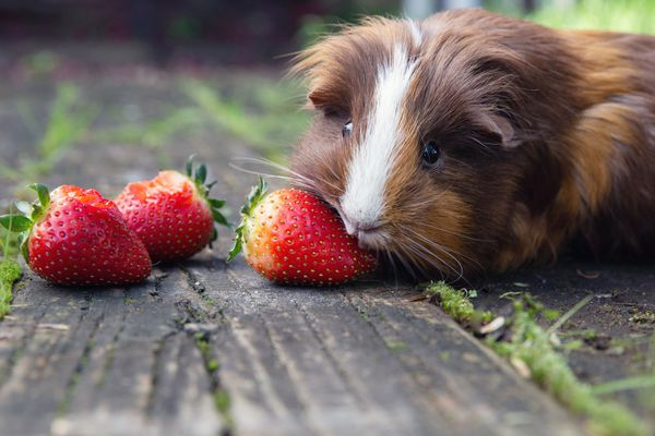 Guinea pig with brown and white hair eating strawberries on wooden surface