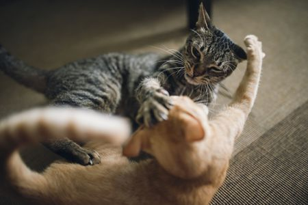 Reasons for Aggression Between Cats and How to Stop It