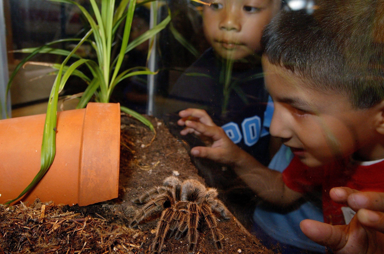 kids looking at a tarantula in an enclosure