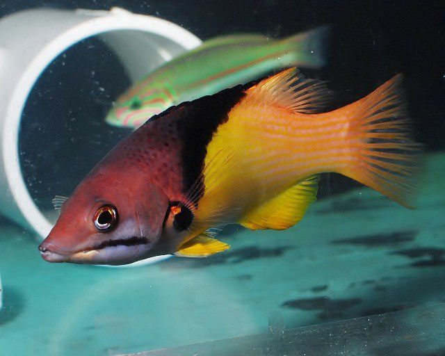 Eclipse Hogfish