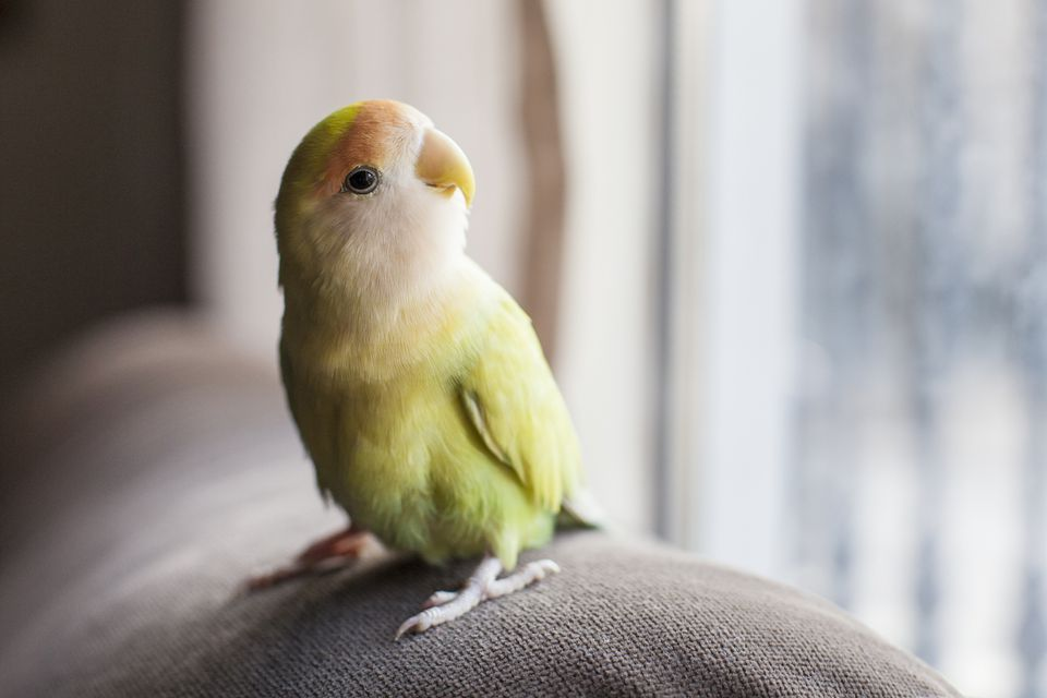 pájaro mascota sentada en el sofá