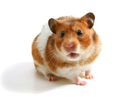 Brown and white hamster on a white background.