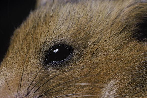 Hamster eye close-up.