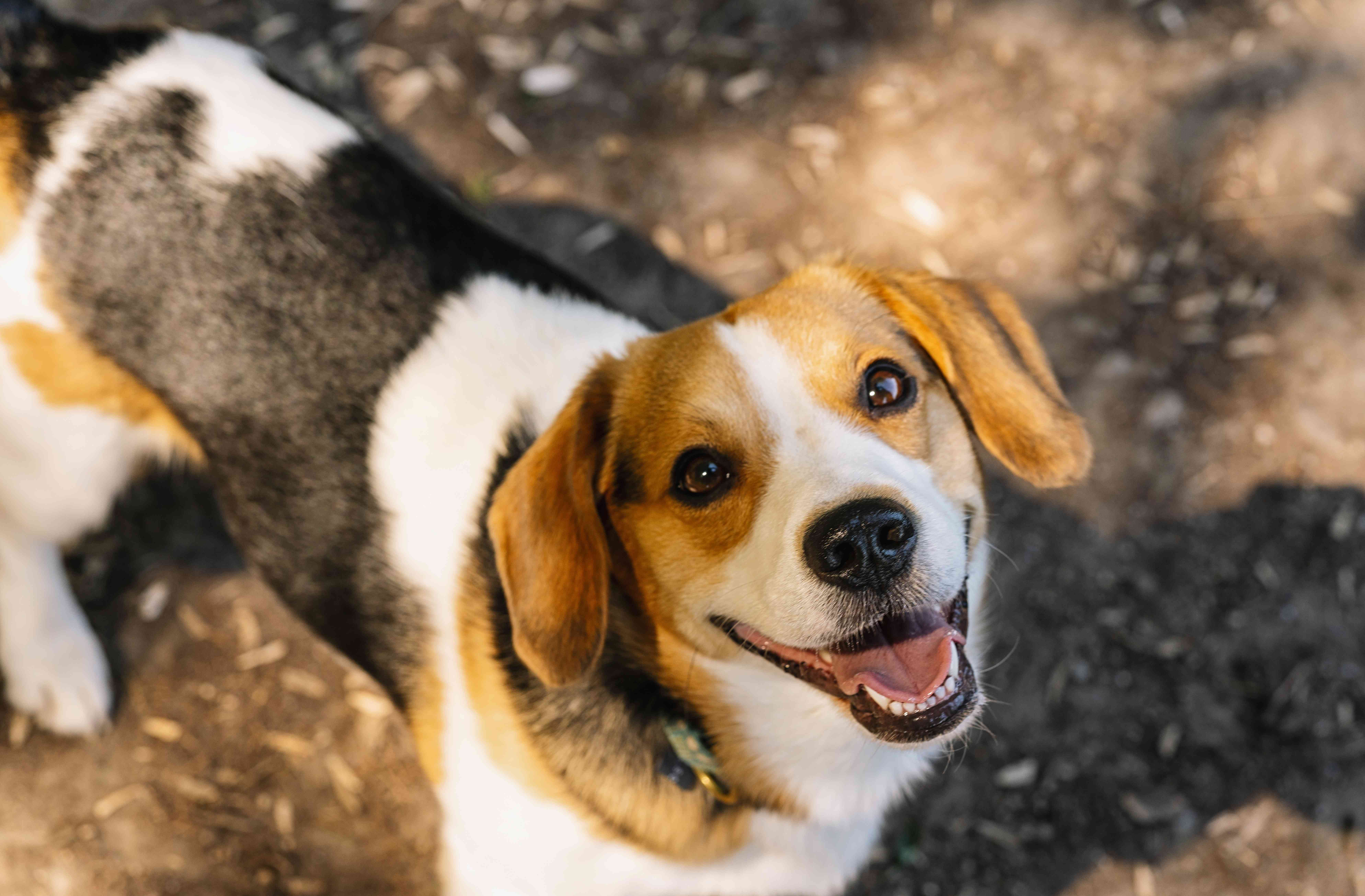 beagle looking up and smiling