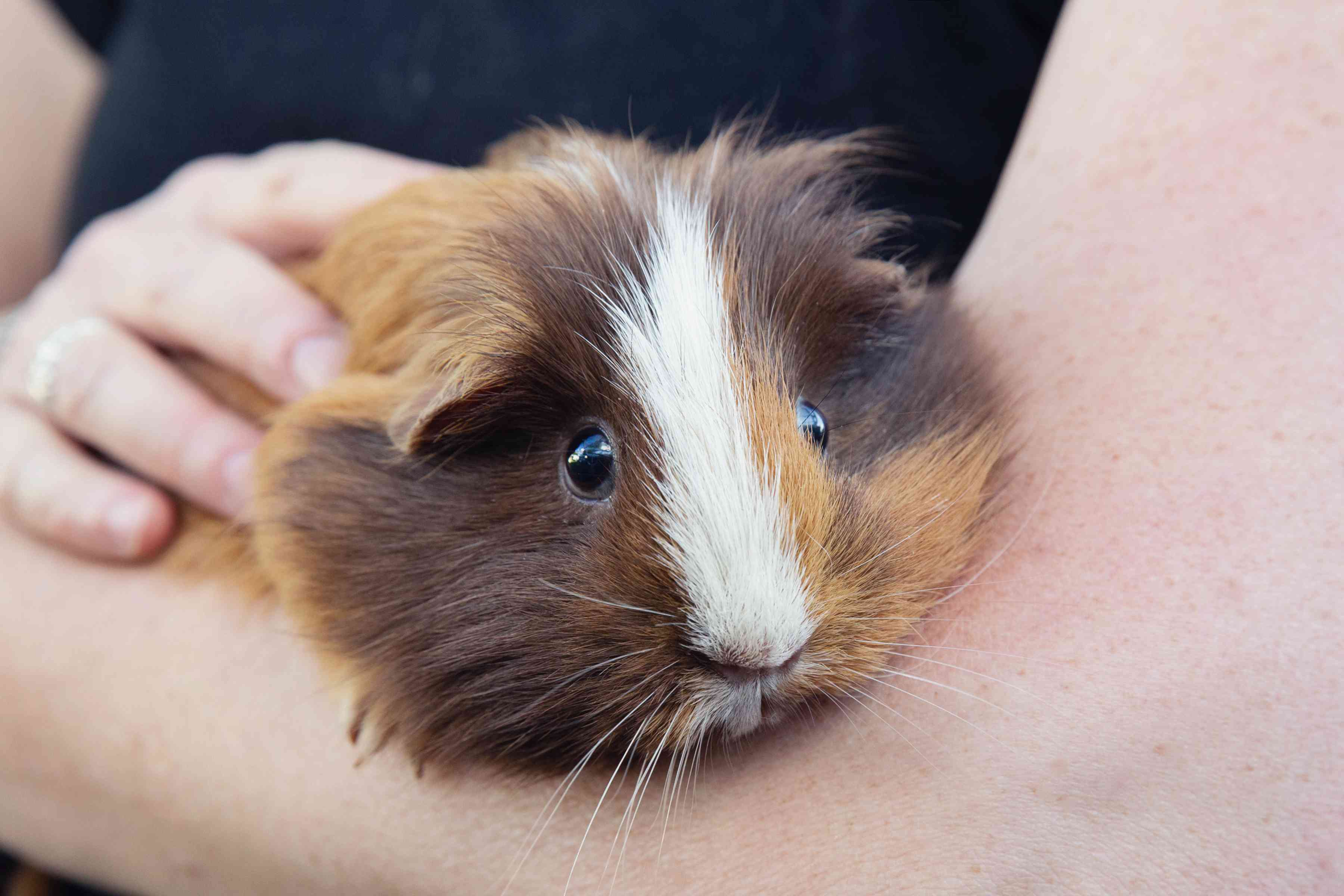 Brown and white guinea pig held in owner's arms while tame