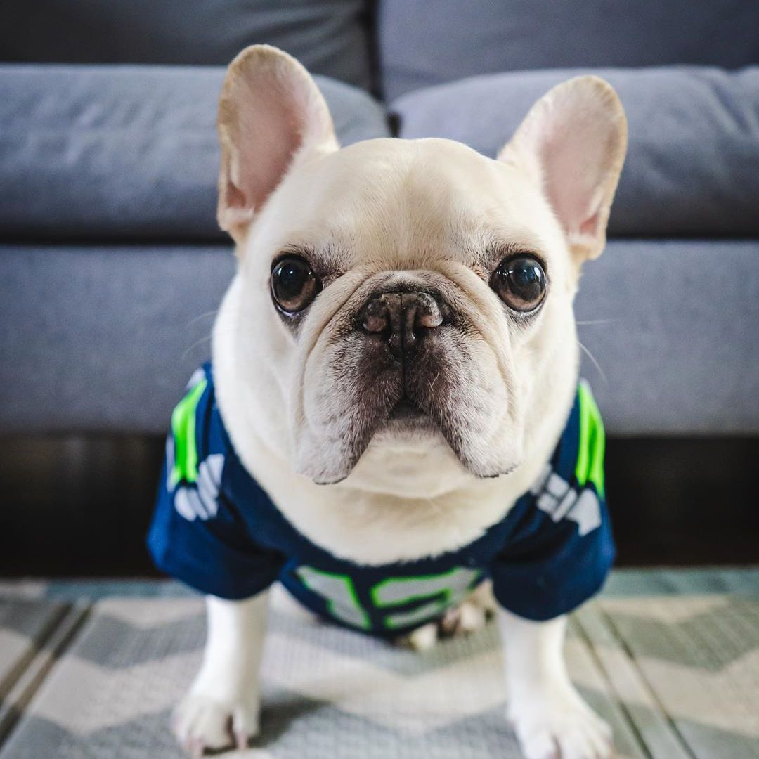 A white pug standing in front of a blue couch looking at the camera and wearing a Seahawks football jersey.