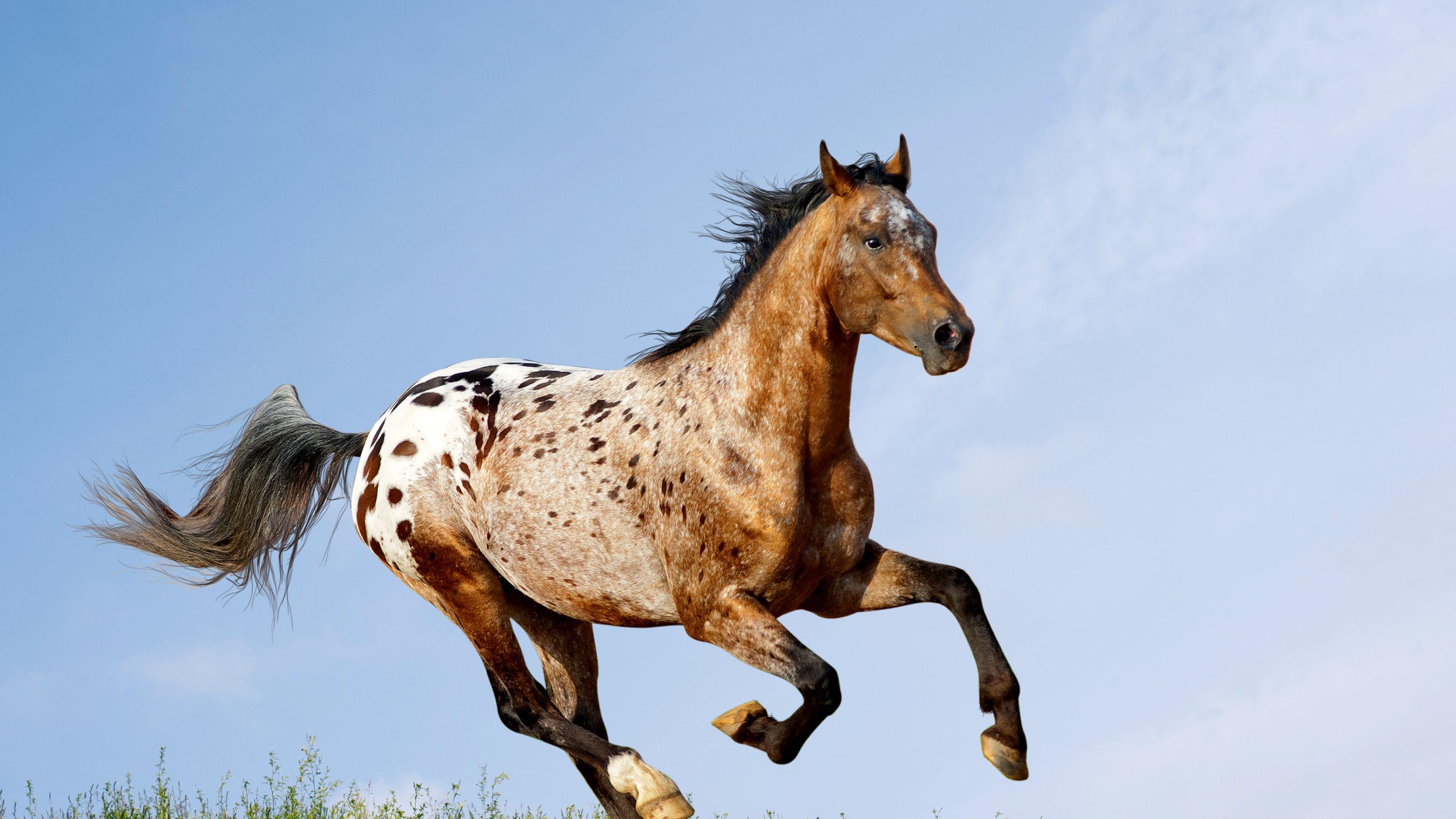 Appaloosa Horse Breed Profile