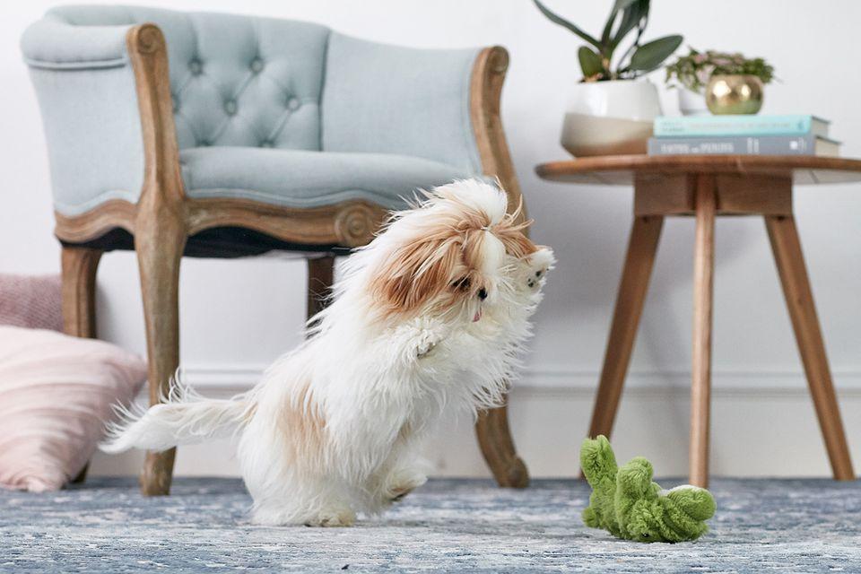 Un cachorro shih tzu jugando