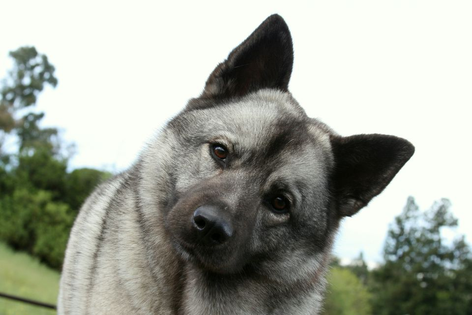 Norwegian Elkhound portrait; Norse dog names