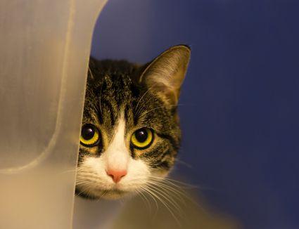 Scared cat hiding around a corner.