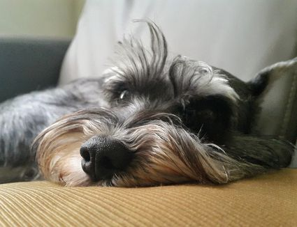 Up close portrait of schnauzer on couch