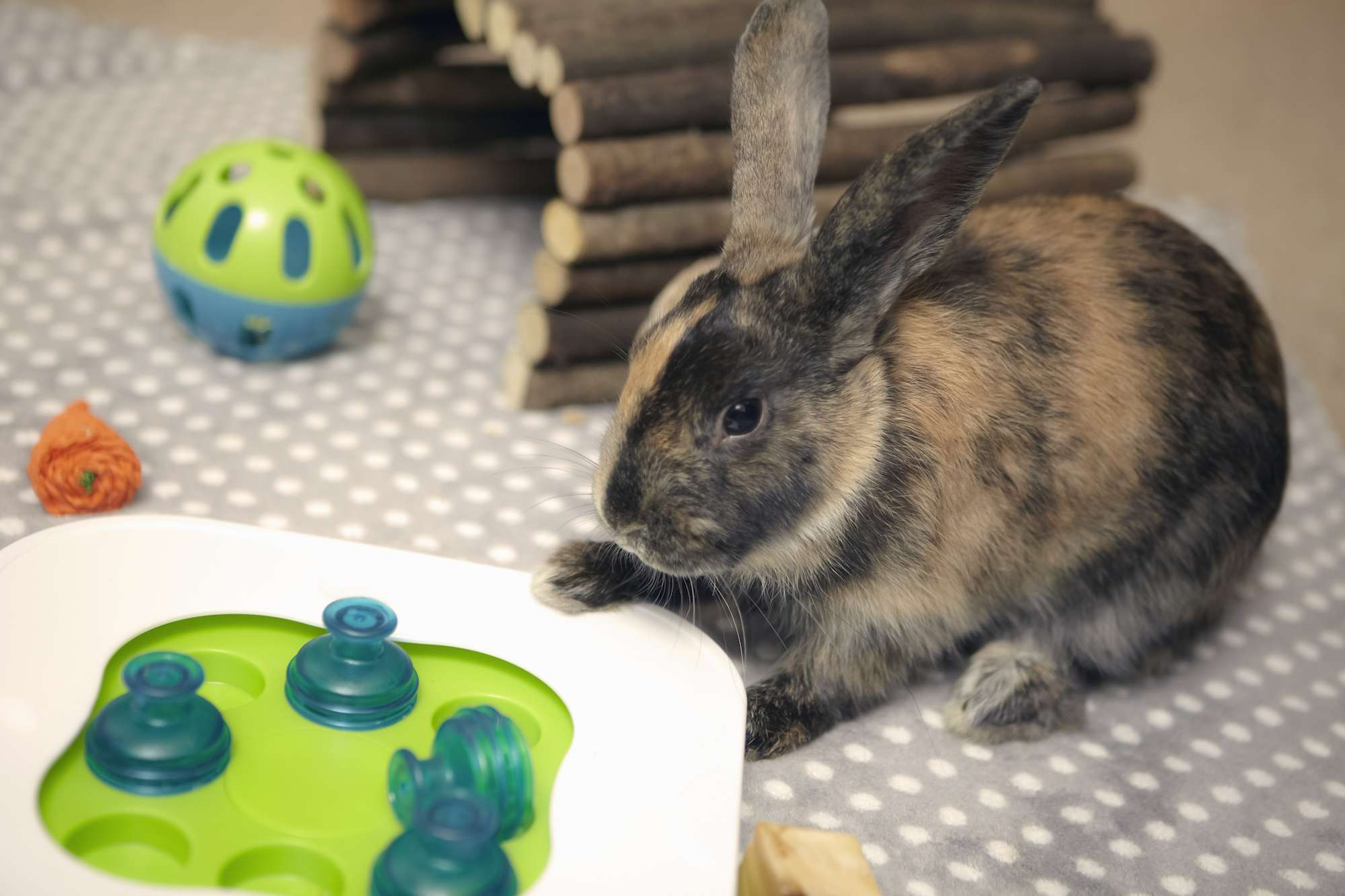 Pet rabbit playing with toys