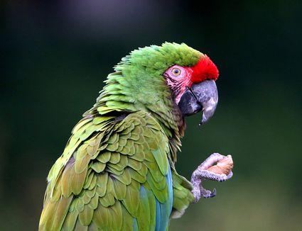Macaw Cracking Nut