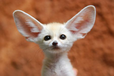 Image result for fennec