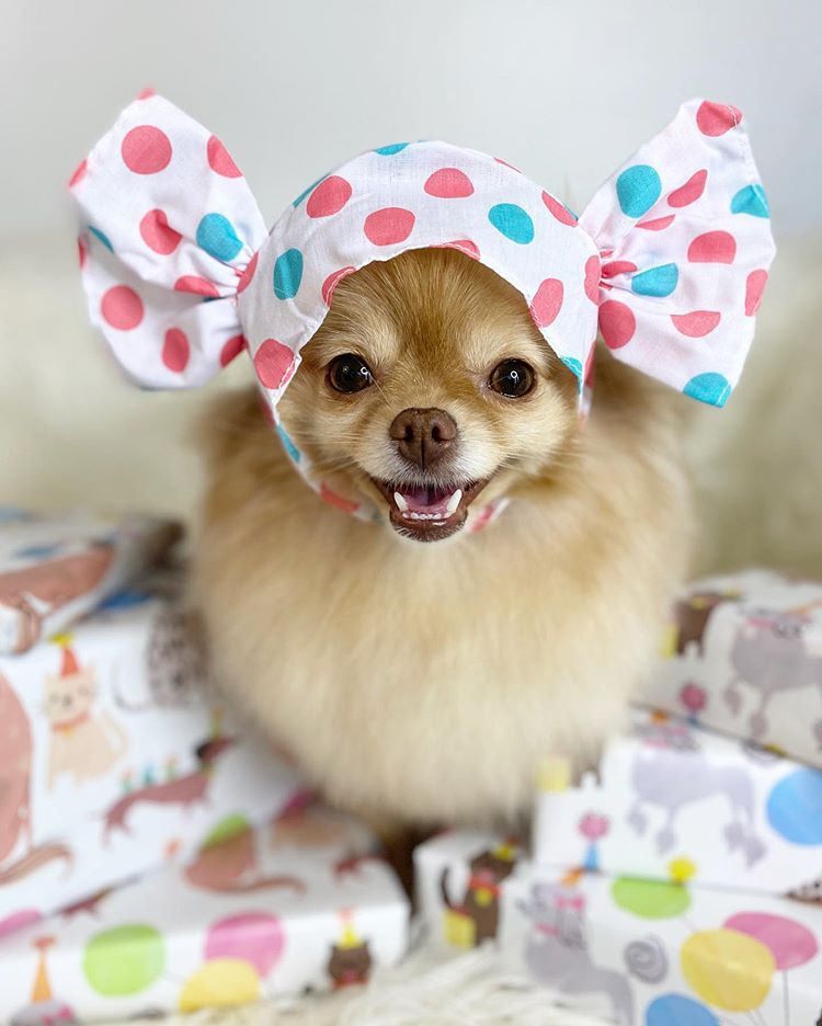 A tan pomeranian with a colorful polka dotted bonnet on.
