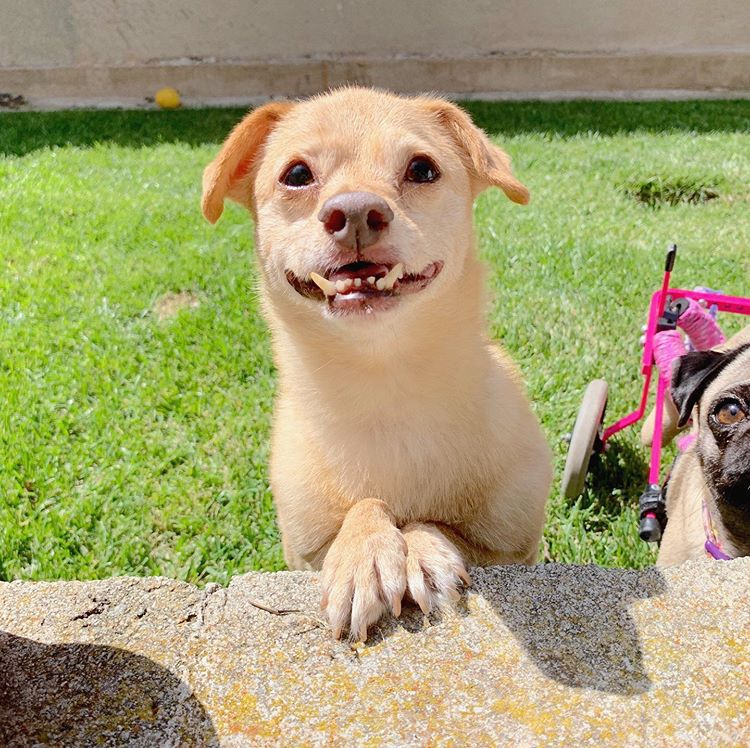 A funny mixed breed dog with an under bite standing in the lawn and looking at the camera.