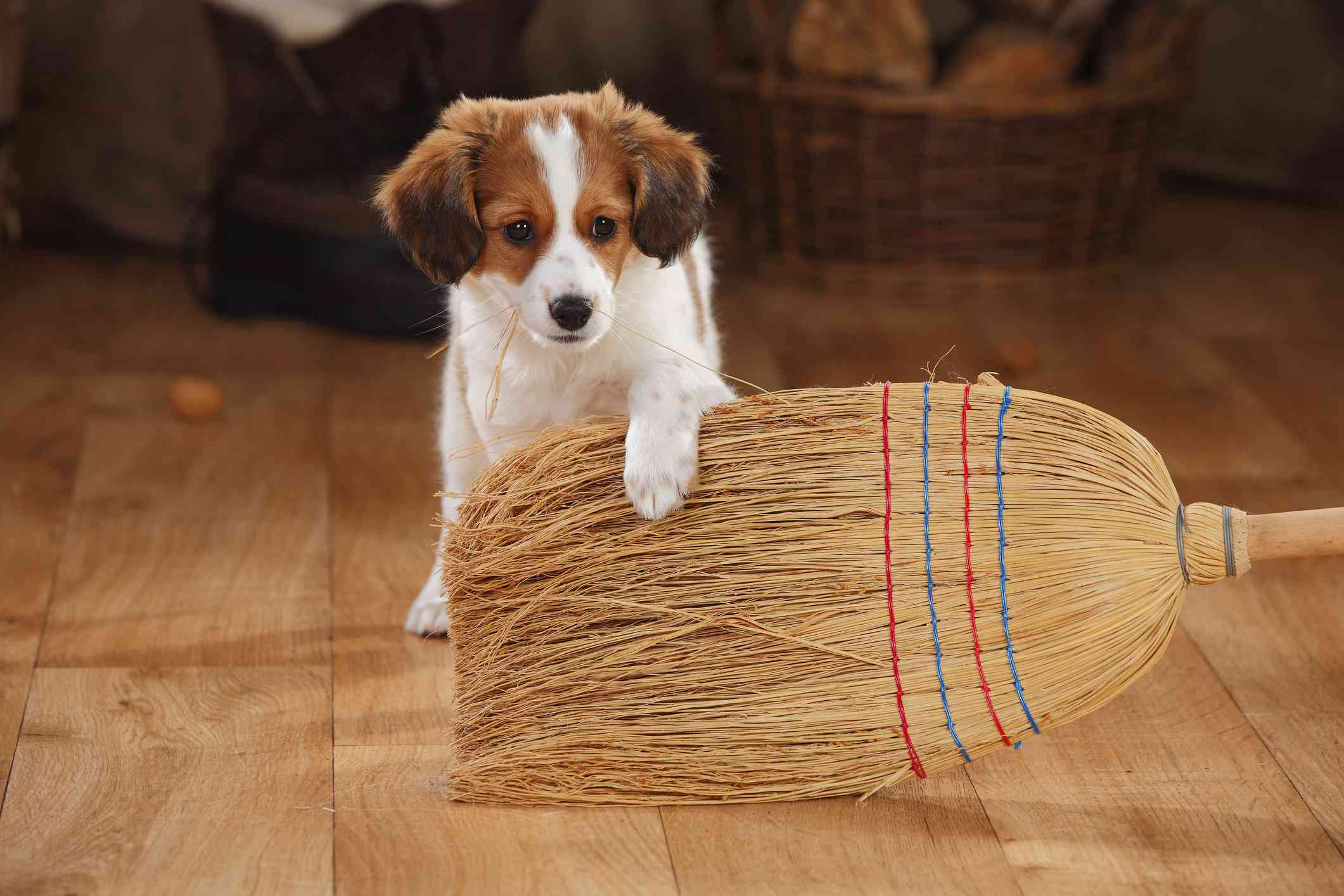 Kooikerhondje puppy playing with broom