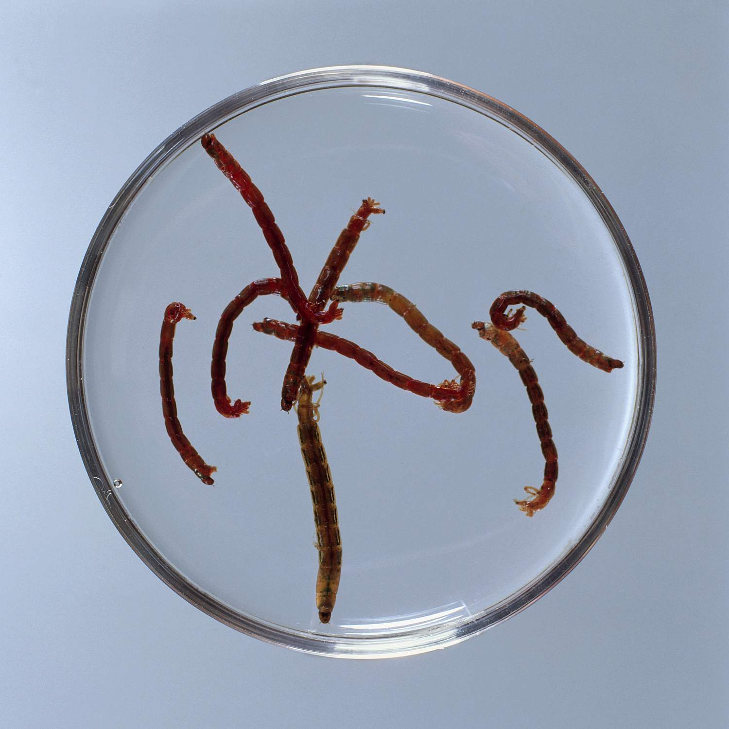 Bloodworms (Glycera dibranchiata) in petri dish