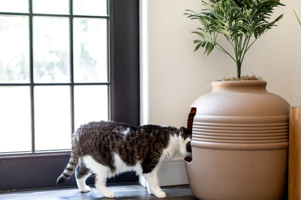Brown and white cat poking head inside tan cat litter box with plant on top