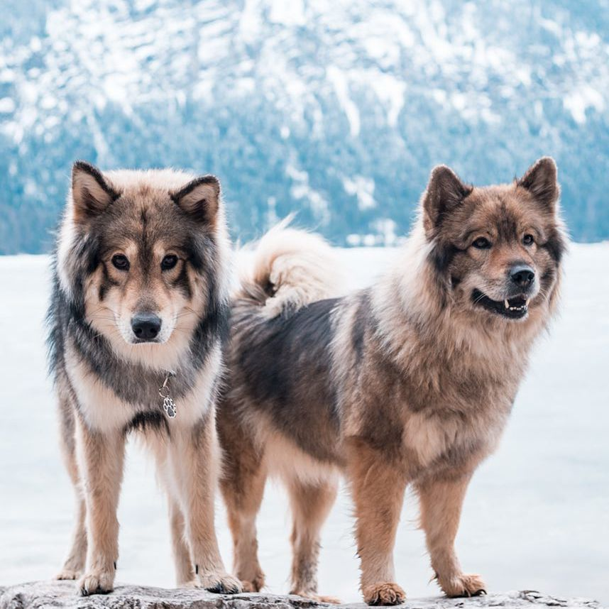 Two wolf dogs in front of a lake