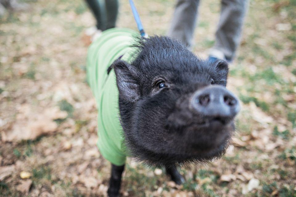 Cerdo barrigón