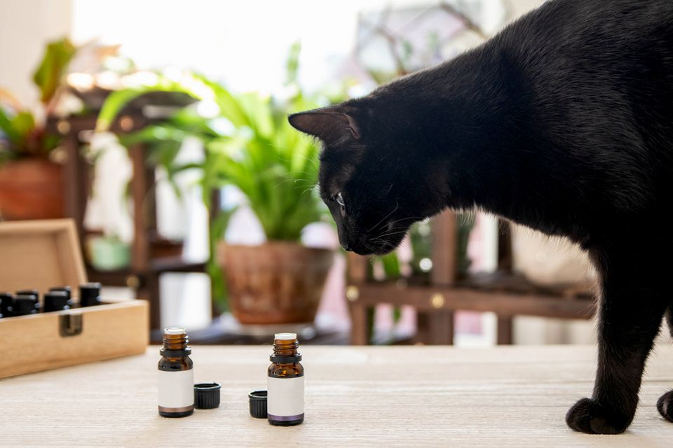 Black cat looking at essential oils capsules