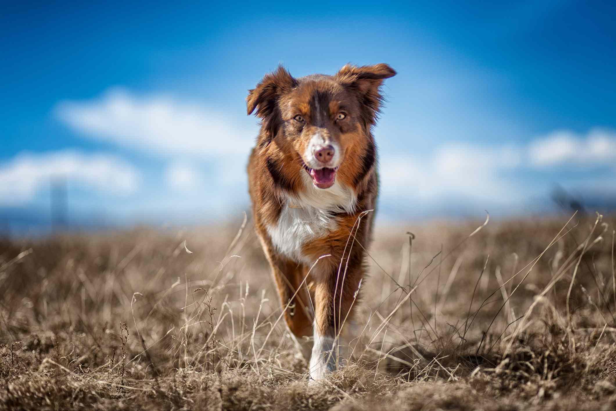 A brown Australian shepherd running in the grass