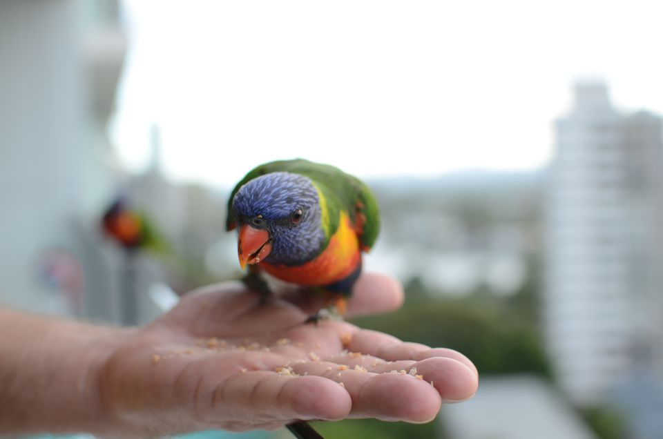 Rainbow lorikeet eating from a person's hand