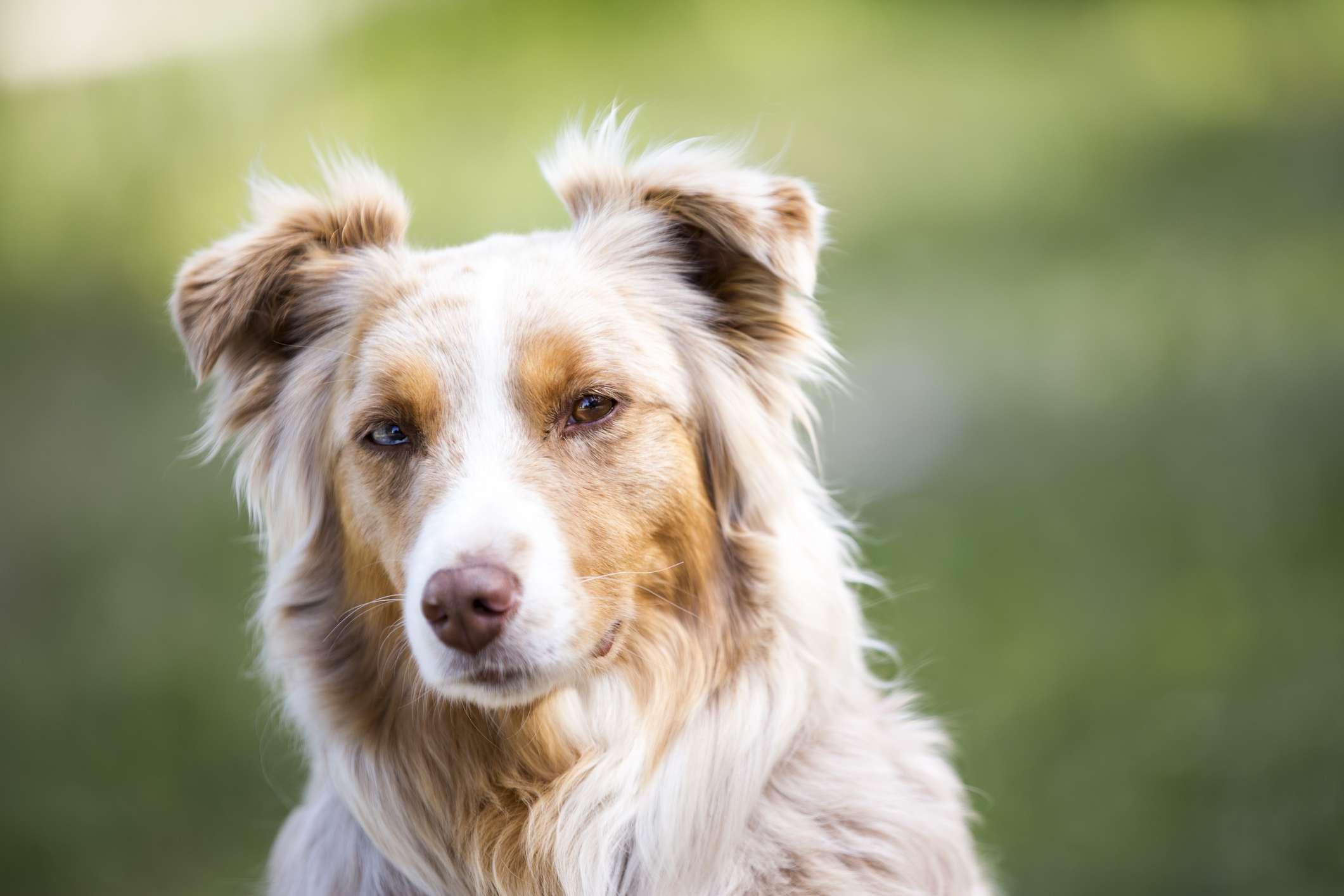 Red merle Australian shepherd dog