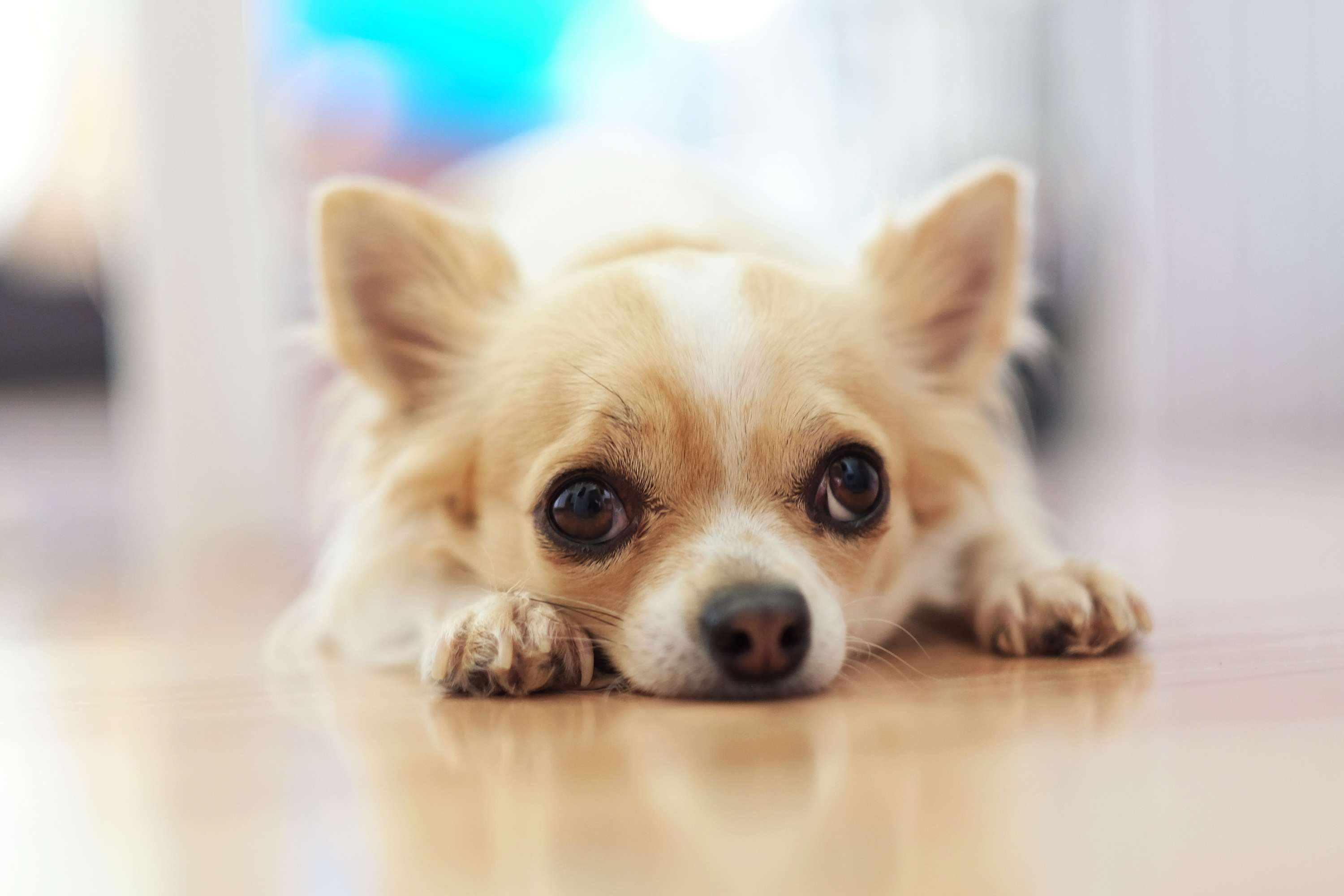 Light brown and white long-haired Chihuahua laying on floor.