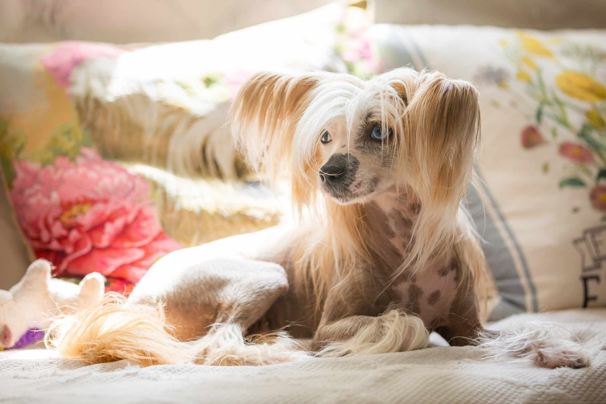 Chinese Crested dog laying in front of floral pillows in the sun.
