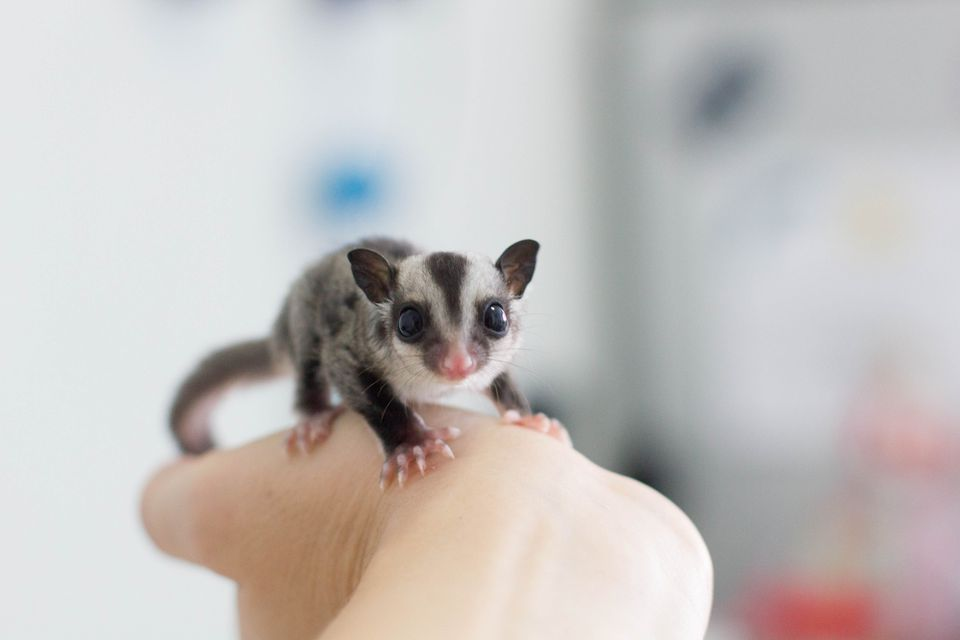 Male Sugar Glider With a Large Bald Spot on Head