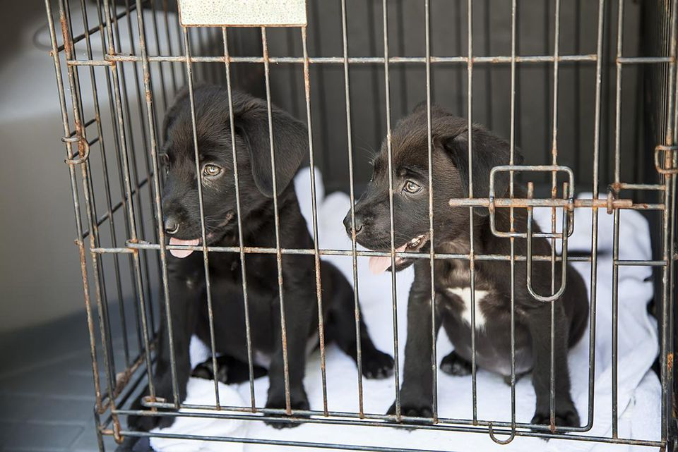 Mixed Lab puppies in a cage